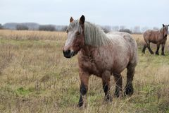 A big brown craft horse macro walking in the fields in winter. A beautiful big brown craft horse is walking in the fields in a nature reserve in holland in royalty free stock images
