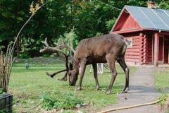 Big brown deer eating grass. Stock Photography