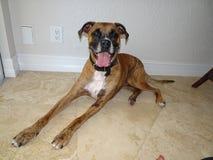Big brown dog. Big brown Boxer dog smiles at the camera Royalty Free Stock Images