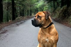 Big Dog Boerboel Breed sitting in the middle of a road with a beautiful green forest background stock images