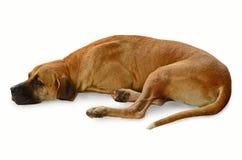 Big brown dog. Big bown dog on white background Stock Images