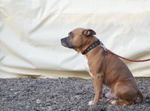 Big brown dog stock photo