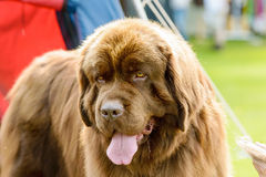 Big brown dog Stock Images