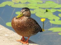 Big brown duck standing by the pond with green leaves and yellow lily flower royalty free stock photos