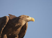 Big brown eagle Royalty Free Stock Photos