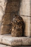 A big brown eared owl sits on an old yellow sandstone stone wall. Bubo bubo, Eurasian eagle-owl stock photo