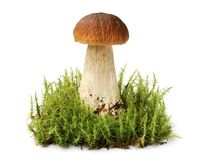 Big brown edible boletus among moss thicket Stock Photo