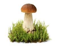Big brown edible boletus among moss thicket stock photo
