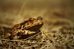 Big brown frog closeup stock photography