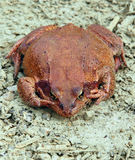 Big brown frog Royalty Free Stock Photography