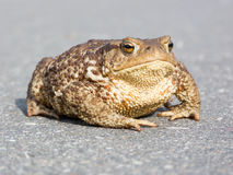 Big brown frog (toad) Stock Photos