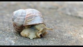 Big brown garden snail stock footage