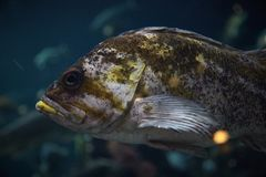 Big brown and green old fish swimming looking directly stock images