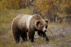 Brown grizzly bear in north America