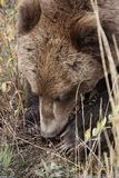 Brown grizzly bear in north America stock image