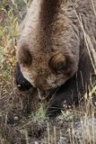 Brown grizzly bear in north America royalty free stock images