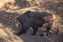 Big brown grizzly bear Stock Photo