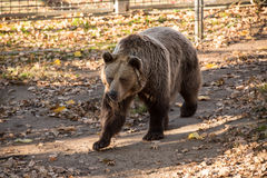 Big brown grizzly bear Stock Image
