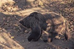 Big brown grizzly bear Stock Photos