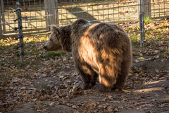 Big brown grizzly bear Royalty Free Stock Images