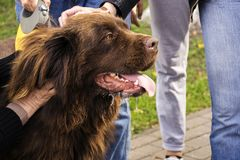 The big brown happy dog in a profile is ironed by several people Stock Photo