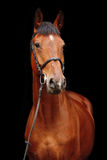Big brown horse portrait on black background. Big brown sport horse portrait on black background Royalty Free Stock Image