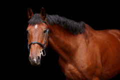 Big brown horse portrait on black background. Big brown sport horse portrait on black background Stock Photo