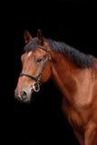 Big brown horse portrait on black background Stock Image