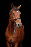 Big brown horse portrait on black background. Big brown sport horse portrait on black background Royalty Free Stock Photo