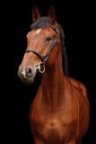 Big brown horse portrait on black background. Big brown sport horse portrait on black background Royalty Free Stock Images