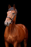Big brown horse portrait on black background Royalty Free Stock Photos