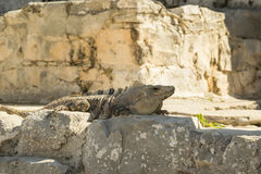 Big brown iguana portrait. Iguana is sitting on acient stones and observing tourists Stock Images