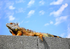 Big brown iguana Royalty Free Stock Photo