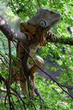 Big brown Iguana on tree Stock Photo