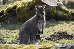 Big brown kangaroo mom with a cute baby in her bag royalty free stock image