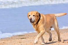 Big brown labrador running on beach Stock Photos