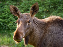 Big brown moose staring in animal portrait Royalty Free Stock Photography