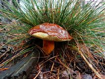 Big brown mushroom under the grass in the forest Royalty Free Stock Images
