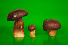 Big brown mushrooms boletus and the flywheel Stock Photos