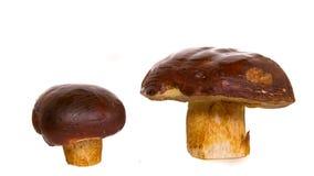 Big brown mushrooms boletus and the flywheel Stock Photo