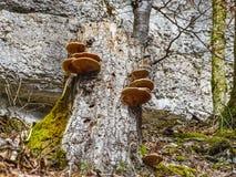 Big brown mushrooms on a tree near saut du doubs waterfall. Switzerland Stock Photos