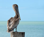 A big,brown pelican standing on a pier post Stock Photography