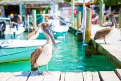 Free Big Brown Pelicans In Port Of Islamorada, Florida Keys. Waiting For Fish At Robbie`s Marina. Stock Image - 163947101