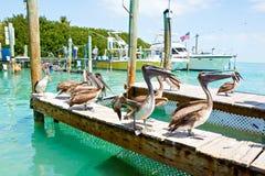 Big brown pelicans in Islamorada, Florida Keys Stock Images