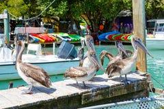 Big brown pelicans in Islamorada, Florida Keys. Big brown pelicans in port of Islamorada, Florida Keys. Waiting for fish at Robbie's Marina stock photos