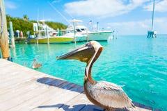 Big brown pelicans in Islamorada, Florida Keys royalty free stock images