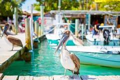 Big brown pelicans in Islamorada, Florida Keys Royalty Free Stock Photo