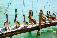 Big brown pelicans in Islamorada, Florida Keys Royalty Free Stock Image