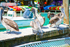 Big brown pelicans in Islamorada, Florida Keys royalty free stock photos