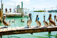 Big brown pelicans in Islamorada, Florida Keys Royalty Free Stock Photography